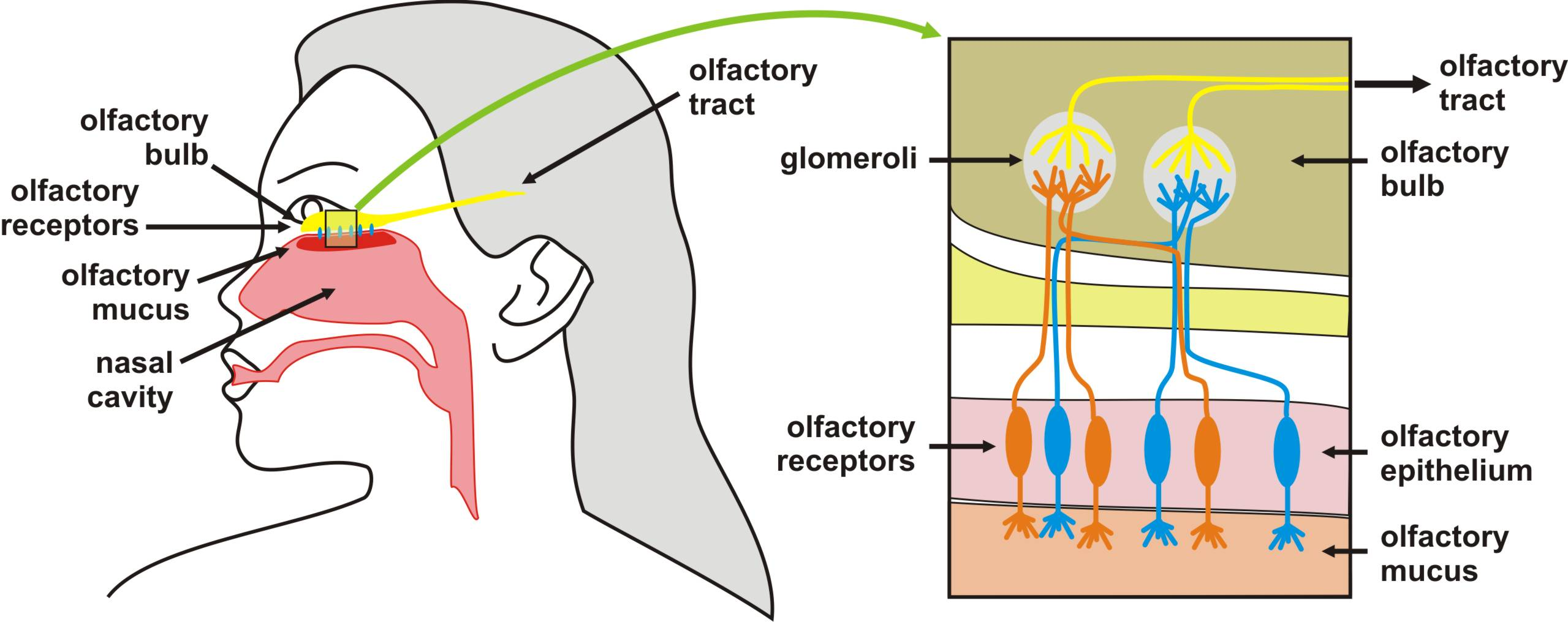 You'll Be Surprised to Know the Functions of the Olfactory Cortex