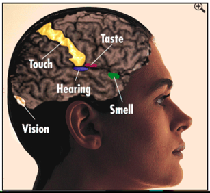 Ps 1061 lecture 9 the image above illustrates the primary sensory cortical areas the first cortical areas to receive the sensory information for each of the five senses as ccuart Images